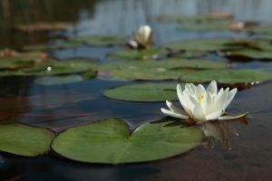 waterlelie spiritueel overgang